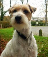 Foto 3 Parson Russell Terrier Zucht von Morrien/Welpen/NRW/Münsterland