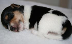 Foto 6 Parson Russell Terrier Zucht von Morrien/Welpen/NRW/Münsterland