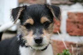 Foto 8 Parson Russell Terrier Zucht von Morrien/Welpen/NRW/Münsterland
