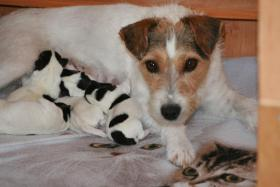 Foto 2 Parson Russell Terrier Zucht vom Niggeland hat Welpen