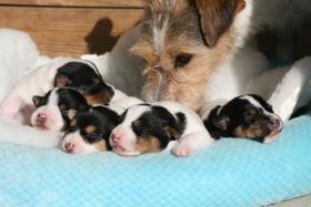 Foto 3 Parson Russell Terrier Zucht vom Niggeland hat Welpen