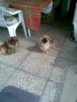 Peking-Palast-Hund-Welpen