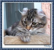 Foto 2 Perfekter American Curl Kater