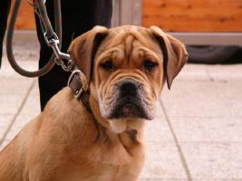 Foto 2 Perro de Presa Mallorquin, CaDeBou