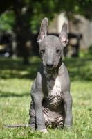 Foto 2 Perro sin Pelo del Peru/Peruanischer Nackthund
