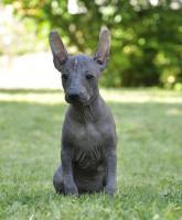 Foto 4 Perro sin Pelo del Peru/Peruanischer Nackthund