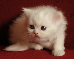 Foto 2 Perser Baby weiss