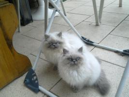 Perser-Colourpoint Kätzchen
