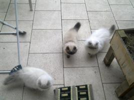 Foto 2 Perser-Colourpoint Kätzchen