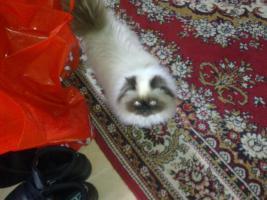 Foto 5 Perser-Colourpoint Kätzchen