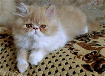 Foto 4 Perser und Exotic Shorthair