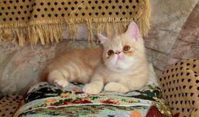 Foto 5 Perser und Exotic Shorthair