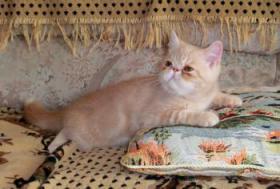 Foto 4 Perser und Exotick Shorthair