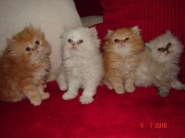 Perser Kätzchen
