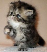 Foto 3 Perser Kätzchen