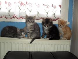Perser-Karth�user-Mixkatzenbabys