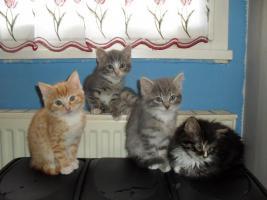 Foto 3 Perser-Karth�user-Mixkatzenbabys