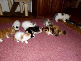 Foto 2 Perser-Katzen