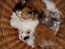 Foto 3 Perser-Katzen