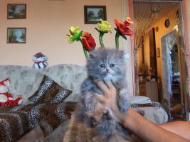 Foto 2 Perser Katzen Babys