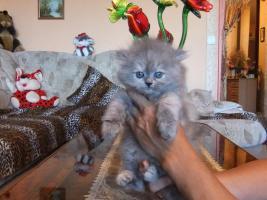 Foto 4 Perser Katzen Babys