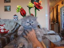 Foto 5 Perser Katzen Babys