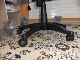 Foto 6 Perser Katzen Babys