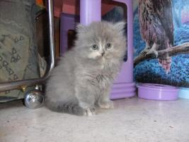 Foto 7 Perser Katzen Babys