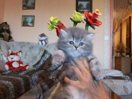 Foto 8 Perser Katzen Babys