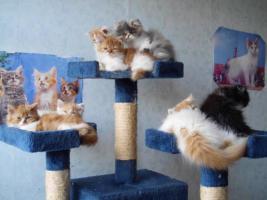 Perser-Katzen zuverkaufen