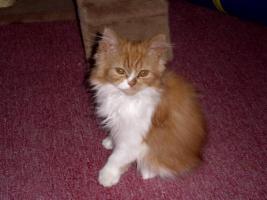 Foto 2 Perser-Katzen zuverkaufen