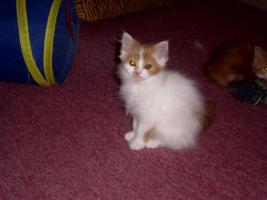 Foto 3 Perser-Katzen zuverkaufen