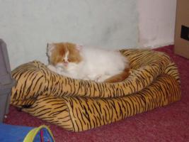 Foto 4 Perser-Katzen zuverkaufen