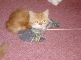 Foto 5 Perser-Katzen zuverkaufen