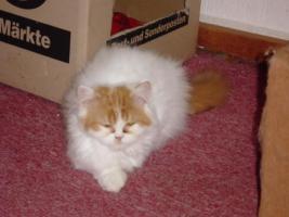 Foto 6 Perser-Katzen zuverkaufen