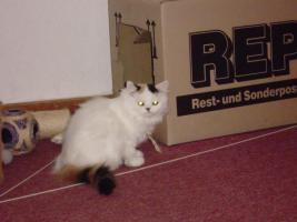 Foto 7 Perser-Katzen zuverkaufen