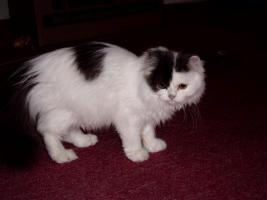 Foto 8 Perser-Katzen zuverkaufen