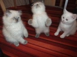 Perser Katzenbabys suchen noch ein neues zuhause!!!