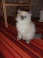 Foto 2 Perser Katzenbabys suchen noch ein neues zuhause!!!