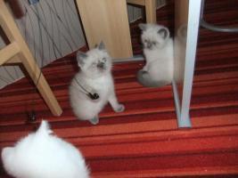Foto 3 Perser Katzenbabys suchen noch ein neues zuhause!!!