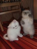 Foto 4 Perser Katzenbabys suchen noch ein neues zuhause!!!