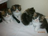 Perser-Kitten