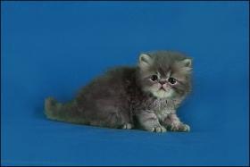 Foto 2 Perser-Kitten