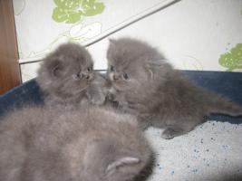 Foto 5 Perser Kitten