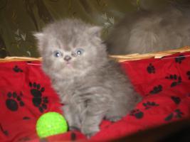 Foto 7 Perser Kitten