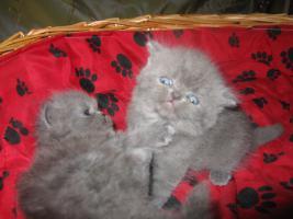 Foto 8 Perser Kitten
