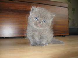 Foto 9 Perser Kitten