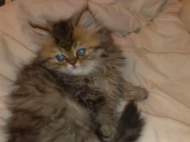 Perser Kitten , schildplatt , sehr Hübsch , darf sofort zu liebevoller Familie