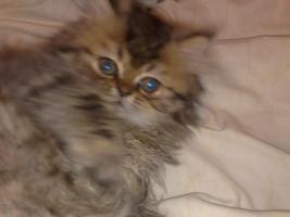 Foto 2 Perser Kitten , schildplatt , sehr Hübsch , darf sofort zu liebevoller Familie