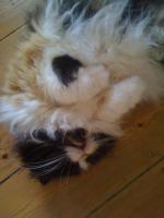 Foto 2 Perser-Maincoon-Katze zu verschenken